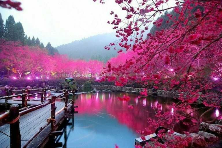 english-teaching-experience-in-japan-beautiful-cherry-blossoms-by-a-lake-and-a-wooden-bridge