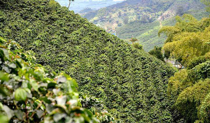coffee-plantation-in-colombia--visited-by-english-teachers