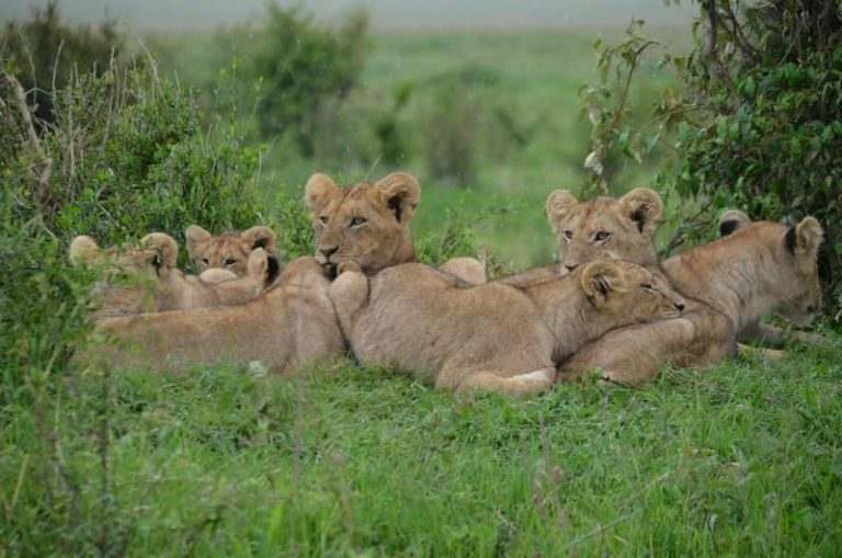 visit-lions-if-you-teach-english-in-kenya
